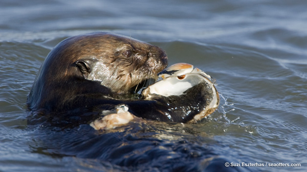 Sea otter eating clam.