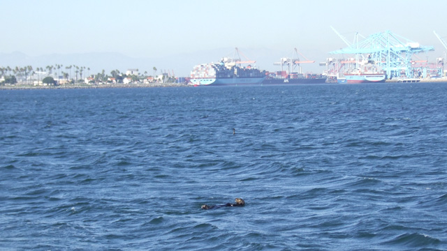 Sea Otter in southern California waters