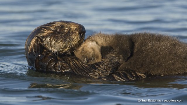 Sea otter mom and pup, Monterey Bay, CA