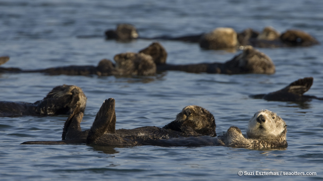 Raft of sea otters, Monterey Bay, CA