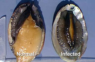 Black abalone with withering syndrome