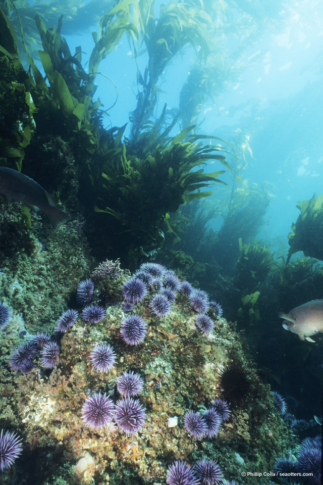 Purple sea urchins on rocky reef amid kelp forest.