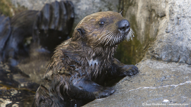 Sea otter pup, Monterey Bay Aquarium