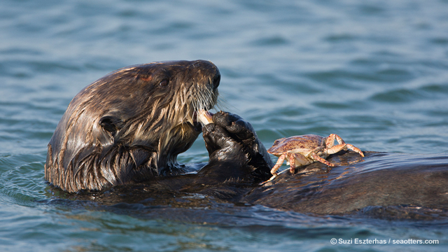 Sea otter eating crab