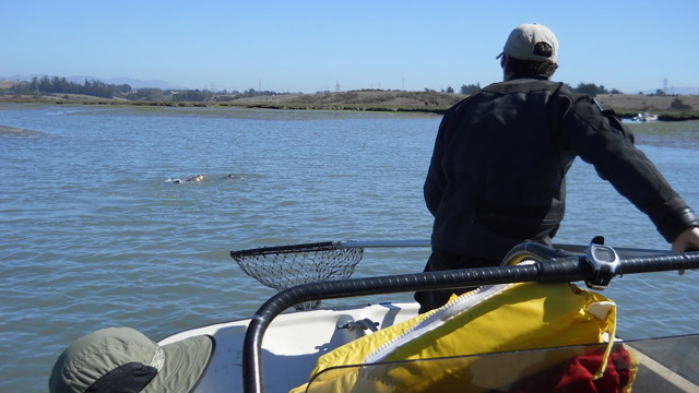 Elkhorn Slough Sea Otter Study
