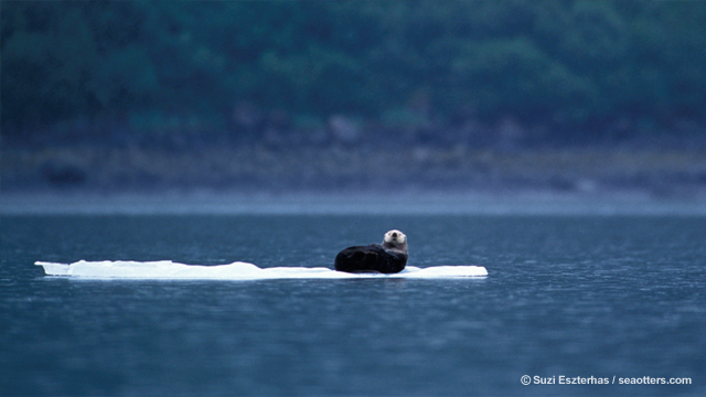 Northern sea otter, Prince William Sound, AK