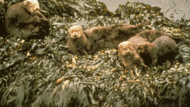 Oiled sea otters after Exxon Valdez oil spill