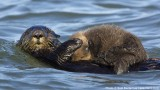 Sea otter pup all tucked in