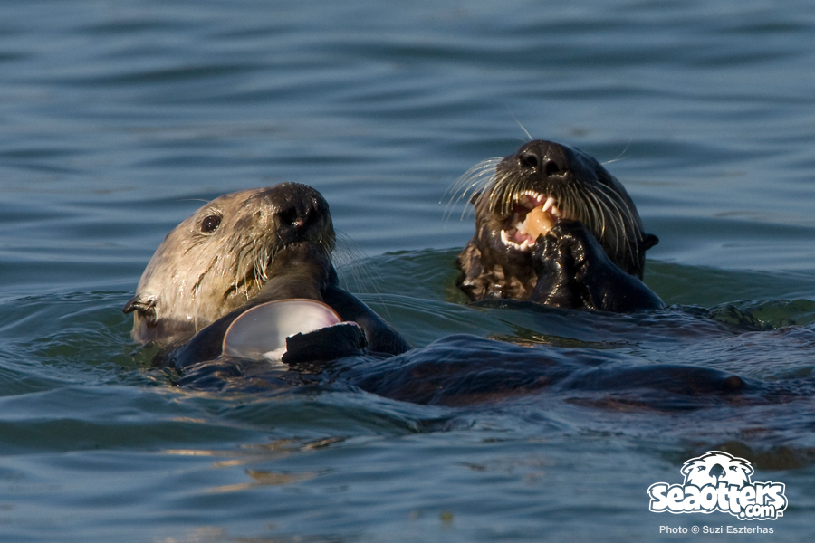 Otter mom sharing clam with pup