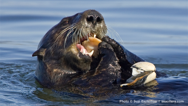 Sea otters have strong teeth