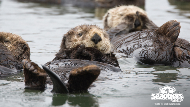 Sea otters rafting in Elkhorn Slough