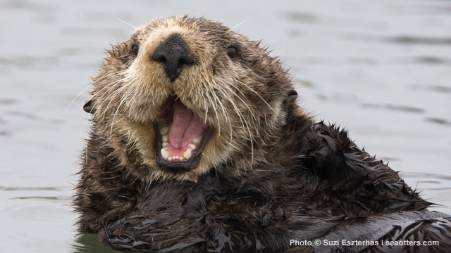 Governor Brown signs legislation to help sea otters ...
