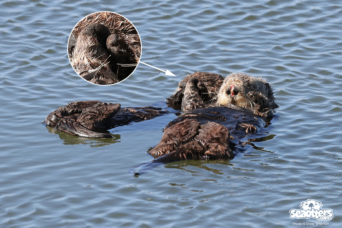 Yes, Wild Sea Otters Hold Hands