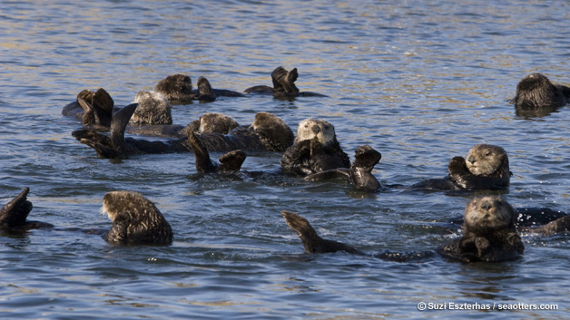 Helping to Save Sea Otters and How They Are Helping to Save Us