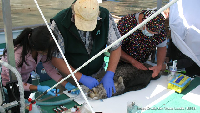 Veterinarians working off the coast of Big Sur, California
