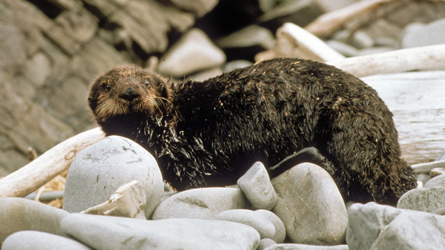 Sea Otters and Oil: Avenues of Exposure and Health Effects