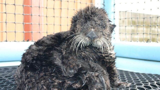 Species Ambassador Olive the Sea Otter Dies After White Shark Bite