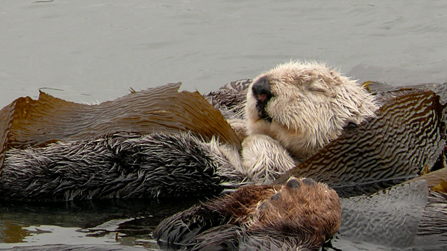 Thanks to Sea Otters, Kelp Forests Absorb Vast Amounts of CO2