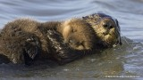 Sea otter pup asleep on mom
