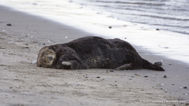 Did You Know Sea Otters Can Transmit Diseases to Humans?