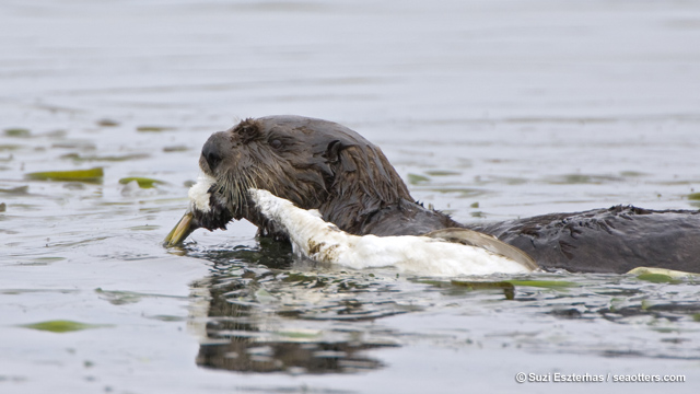 Sea otter carrying western grebe