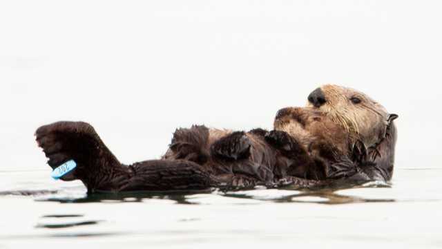 Olive the Oiled Sea Otter and her new pup