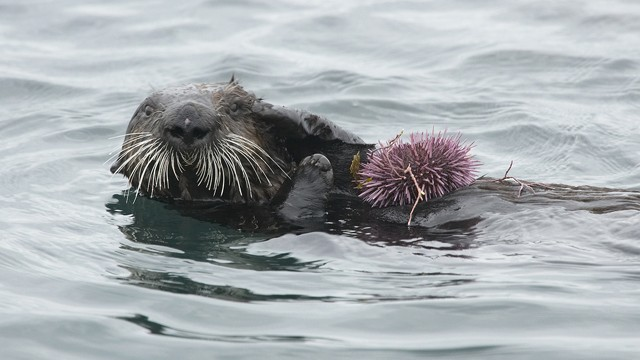 Sea otter with purple sea urchin