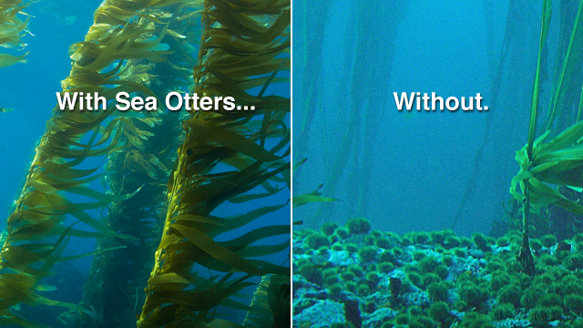 Why are Sea Otters Important? No Sea Otters. No Kelp Forests.
