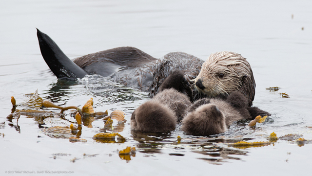 Sea Otter Gives Birth To Twins In Morro Bay, California