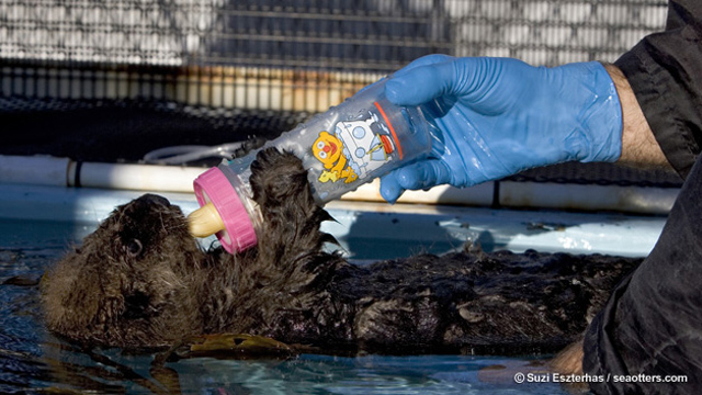 Sea otter pup feeding from bottle