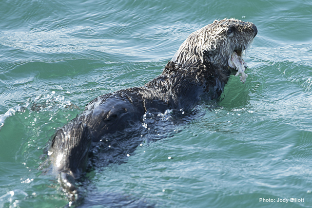 A live sea otter with severe facial trauma was observed swimming in the water near Moss Landing on May 4, 2014.  Photo credit: Jody Elliott