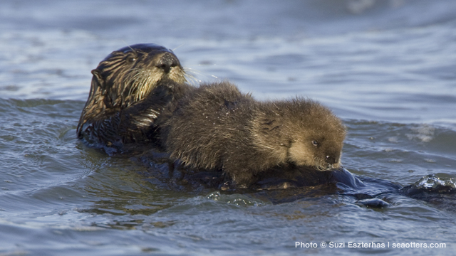 Motherhood is no picnic for sea otter mums