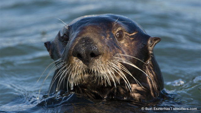 The Sensitive Whiskers of Sea Otters