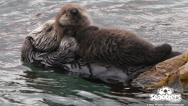 Sea Otter Gives Birth to Twins at Point Lobos | SeaOtters com