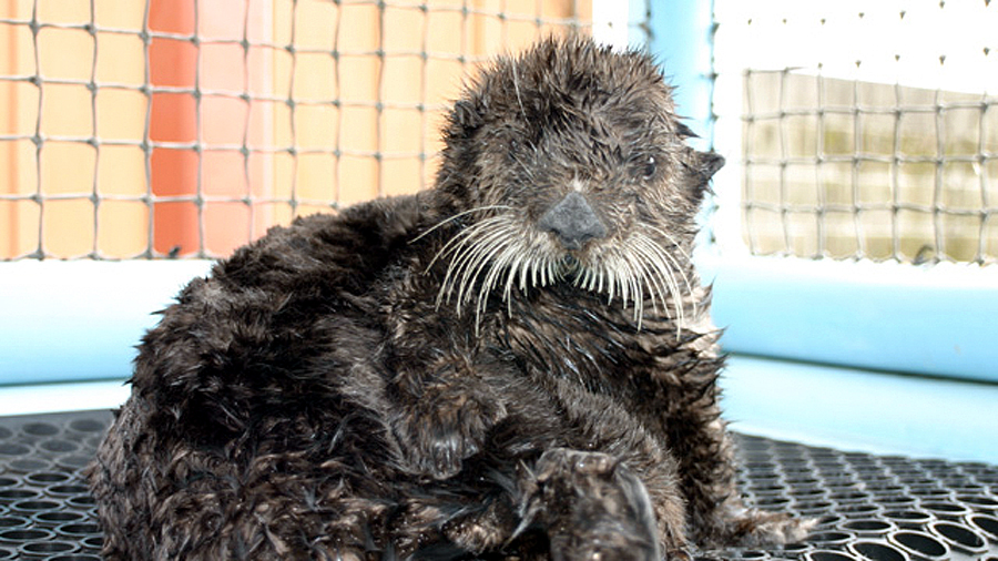 Olive the Oiled Sea Otter