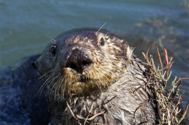 A territorial male sea otter in Moss Landing forages for shore crabs in the pickleweed. Photo by Lilian Carswell/USFWS.