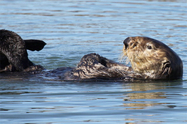 By rubbing their flippers and forepaws simultaneously, sea otters increase the efficiency of a grooming session. Photo by Lilian Carswell/USFWS.