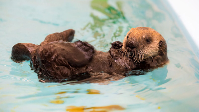 Sea Otter Pup Rescued from Storms by Monterey Bay Aquarium Finds Permanent Home at Shedd Aquarium