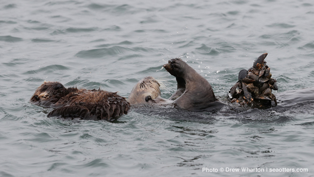 Energetic Demands of Rearing a Pup Push Sea Otter Moms to the Limit