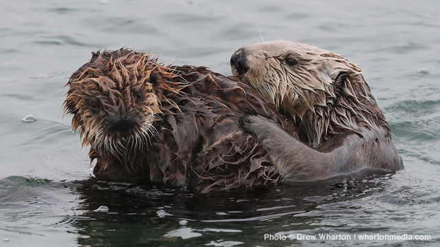 640x360-2017-sea-otter-fund