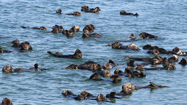 Monterey Bay Aquarium Study: Gaps in kelp cover may threaten the recovery of California sea otters