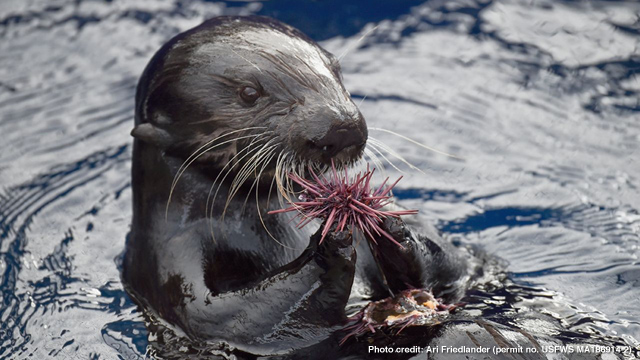 Decisive Sea Otters Distinguish Differences by Touch