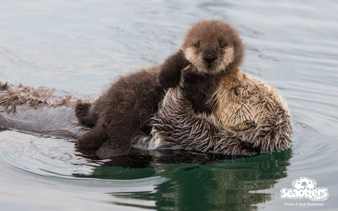 Sea Otter Mom Holding Three-Day-Old Pup